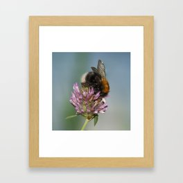 Bee on clover 1 Framed Art Print