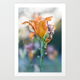 Back Lit Lily During Golden Hour With Bokeh Background Art Print