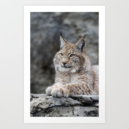Young lynx portrait Art Print