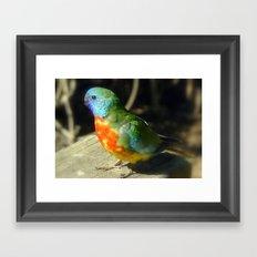 Scarlet-Chrested Parrot (Neophema splendida) Framed Art Print