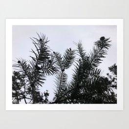 Silver Fir Abies Alba Abstract Art Print