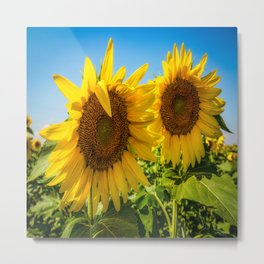 Two of a Kind - A Pair of Sunflowers on an Autumn Day in Kansas Metal Print