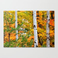 Birch Trees and Autumn Colors Canvas Print