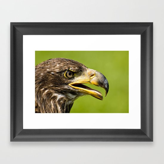 Bald Eagle - juvenile Framed Art Print