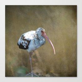 Fledgling Ibis  Canvas Print