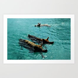 Swimming Pigs In The Exumas, Bahamas, Caribbean  Art Print
