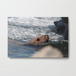 Seal Close Up Metal Print