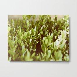 Green Succulent Plant In Warm Sunlight Metal Print