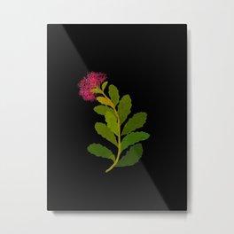 Sedum Telephium Mary Delany Vintage British Floral Flower Paper Collage Black Background Metal Print