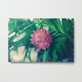 Pink Strawflower Metal Print