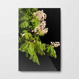 blooming Aesculus tree on black Metal Print