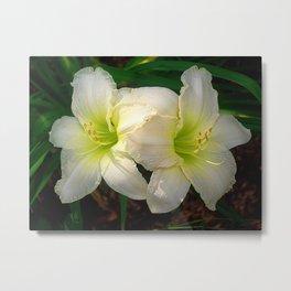 Glowing white daylily flowers - Hemerocallis Indy Seductress Metal Print
