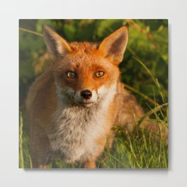 British Red Fox Metal Print