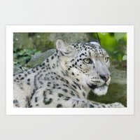 snow leopard Art Prints featuring Snow Leopard by PICSL8