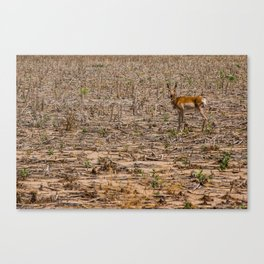 The Antelope's Field Canvas Print