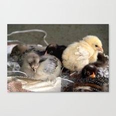 Five Young Chicks Canvas Print
