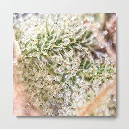 Top Shelf Indoor Skywalker OG Kush Close Up Buds Trichomes View Metal Print