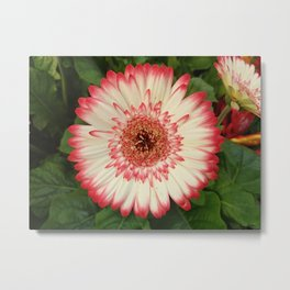 Red and white gerbera flower Metal Print