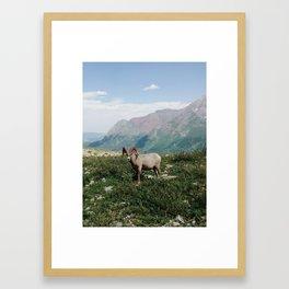 Big Horn Sheep Framed Art Print