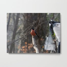 Male Bullfinch Metal Print