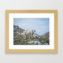 Mountain cows, Italy Framed Art Print
