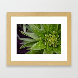 Asian Lily Plant After Rain Framed Art Print