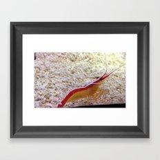 Mister tiny prawn Framed Art Print
