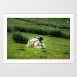 Wind sheared Sheep Art Print