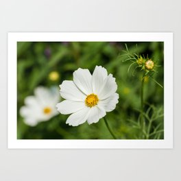 White Cosmos Bipinnatus Art Print