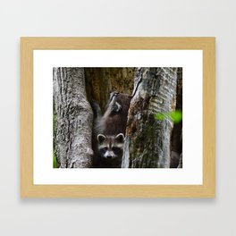 Young racoons at play Framed Art Print