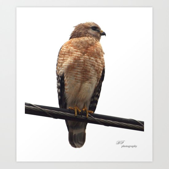 Falcon Wire Art Print