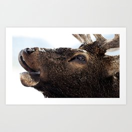 Watercolor Elk Bull 58, Estes Park, Colorado, Greeting Art Print