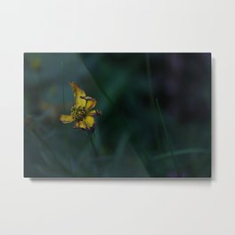 photograph of a Withering Buttercup flower in the evening shade Metal Print
