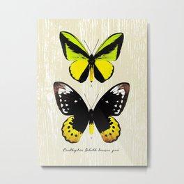 Butterfly07_Ornithoptera goliath samson Metal Print