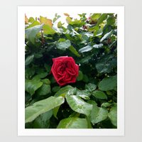 Red is the Rose Art Print