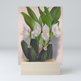 Vintage White Orchid Anguloa Uniflora Lindenia Orchid Mini Art Print