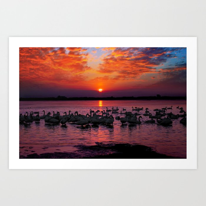 swans at sunset Art Print
