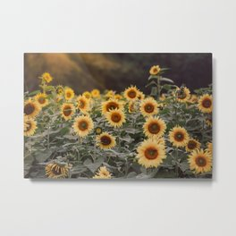After the Rain (Sunflower Field I) Metal Print
