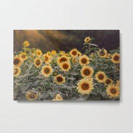 After the Rain (Sunflower Field I) Metal Print