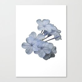 Pale Blue Plumbago Isolated on White Background  Canvas Print