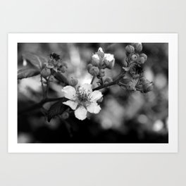 Blackberry Flower Art Print