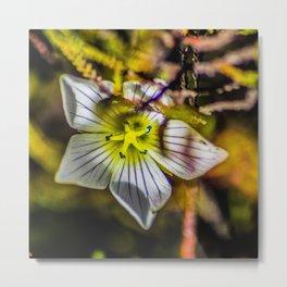 Small Alpine flower on Mount Ruapehu Metal Print