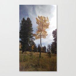 Colorado Aspen Canvas Print