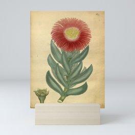Flower mesembryanthemum acinaciforme Scimitar leaved Mesembryanthemum Mini Art Print