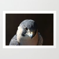 Portrait of a Peregrine Falcon Art Print