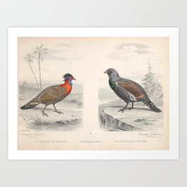 Western tragopan Western capercaillie Art Print