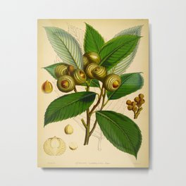 Vintage Scientific Illustration Himalayan Tree Nuts Scientific Illustration Metal Print