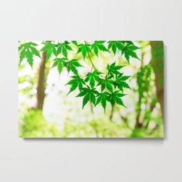 Green leaves of Japanese maple Metal Print