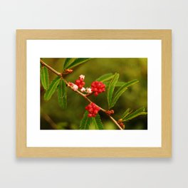 Calliandra Framed Art Print