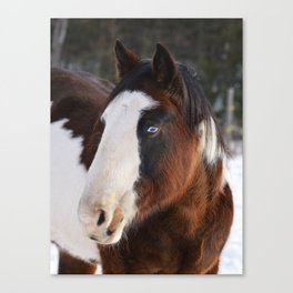 Wolly Talon (horse) Canvas Print
